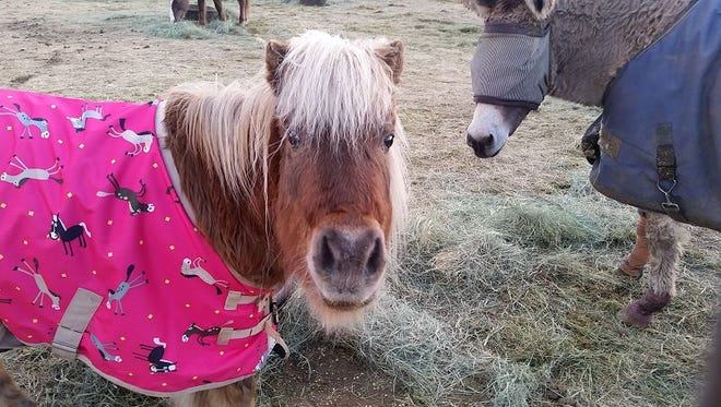 Pumpkin, a miniature pony that lives at the Villa Chardonnay Equine and Animal Sanctuary, is being treated for Cushing's Syndrome.