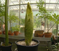 Visitors flock to see the strange plant