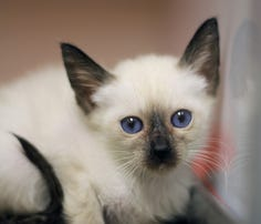 Purebred cats and kittens rescued
