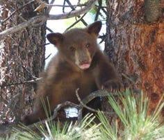 Bear cub rescued near Lake Tahoe basin