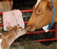 Sweet-natured Riya Aurora came to Lasa Sanctuary with an udder infection and a calf on the way