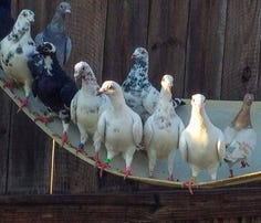Nearly 200 hundred pigeons seized from E. Charlotte apartment