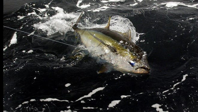 A yellowfin tuna is captured in the recreational fishing industry.