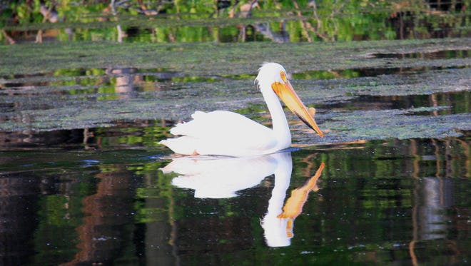 Pelicans have a wing span of 7 to 9 feet.