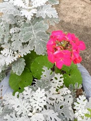 Look closely at the leaves of this geranium. The white flecks are graupel.