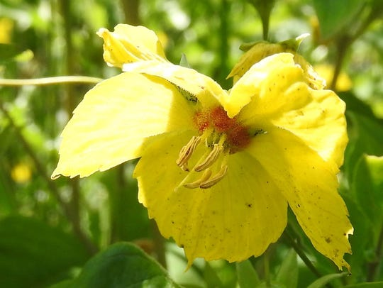 Fringed yellow loosestrife is a native species that