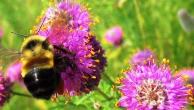 The rusty patched bumble bee is the first bumble bee to be listed as an endangered species.