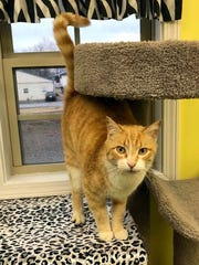 Rav is a young, neutered-male domestic short hair. He is fully vetted and litterbox trained. Rav is an over the top loving and talkative boy. He is super friendly, loves people, and gets along great with other cats. Find him through the Humane Society of Dover-Stewart County, 931-305-8212, www.petfinder.com/shelters/TN113.html.