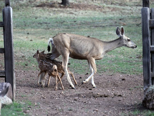 Not unlike human toddlers, these fawns constantly are under foot around mother.