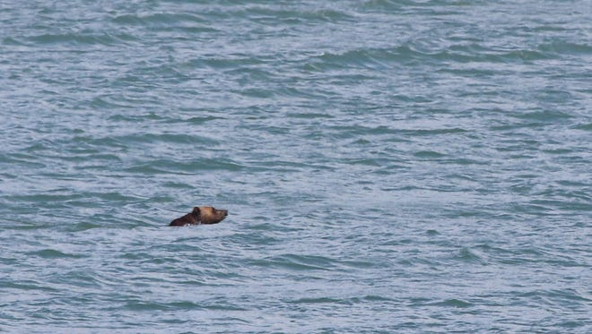 A grizzly bear swims across Lake Sherburne in Glacier National Park.
