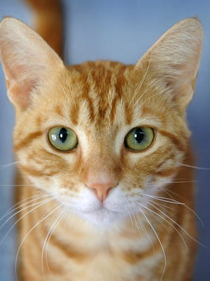 Tommy is a 1-year-old, orange tabby, domestic short-haired cat. He has been neutered, vaccinated and microchipped. Tommy is very friendly and calm. He is available for adoption from the Wichita County Humane Society.