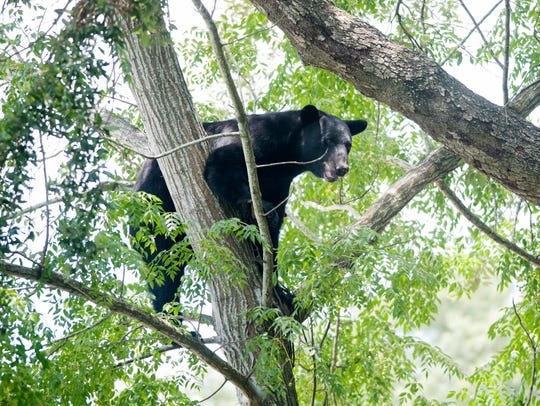 A black bear is stranded in a tree July 24 in the vacant lot next to the McDonald's on Fairfield Drive in Pensacola.