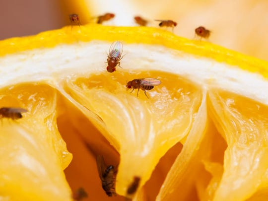 Fruit flies are drawn by decomposing fruit and other wet places.