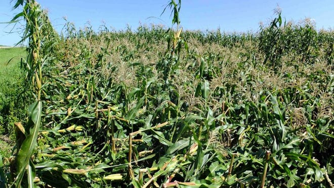 A corn field is leveled by antracnose stalk rot.