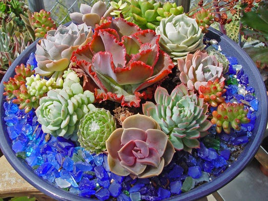 A vivid red echeveria surrounded by small seedling succulents in a low wide bowl is the perfect patio color.