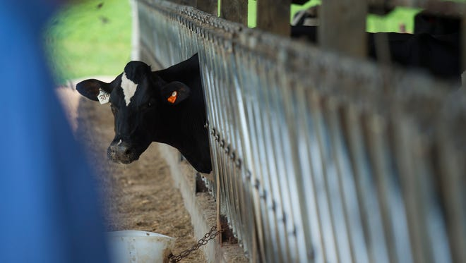 A cow peers out at a Lebanon County farm on August 11, 2016.
