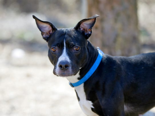 Jewel, a one-year-old American Staffordshire Terrier