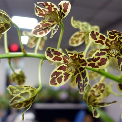 An alien flower: Orchids produce astonishing shapes, colors
