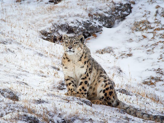 Dawa the snow leopard deals with a harsh environment