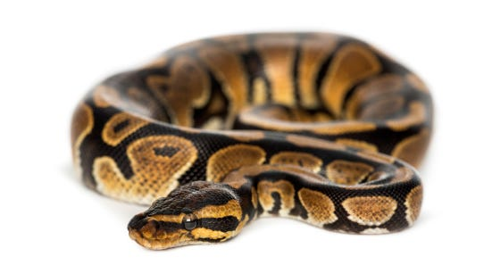 Royal python, isolated
