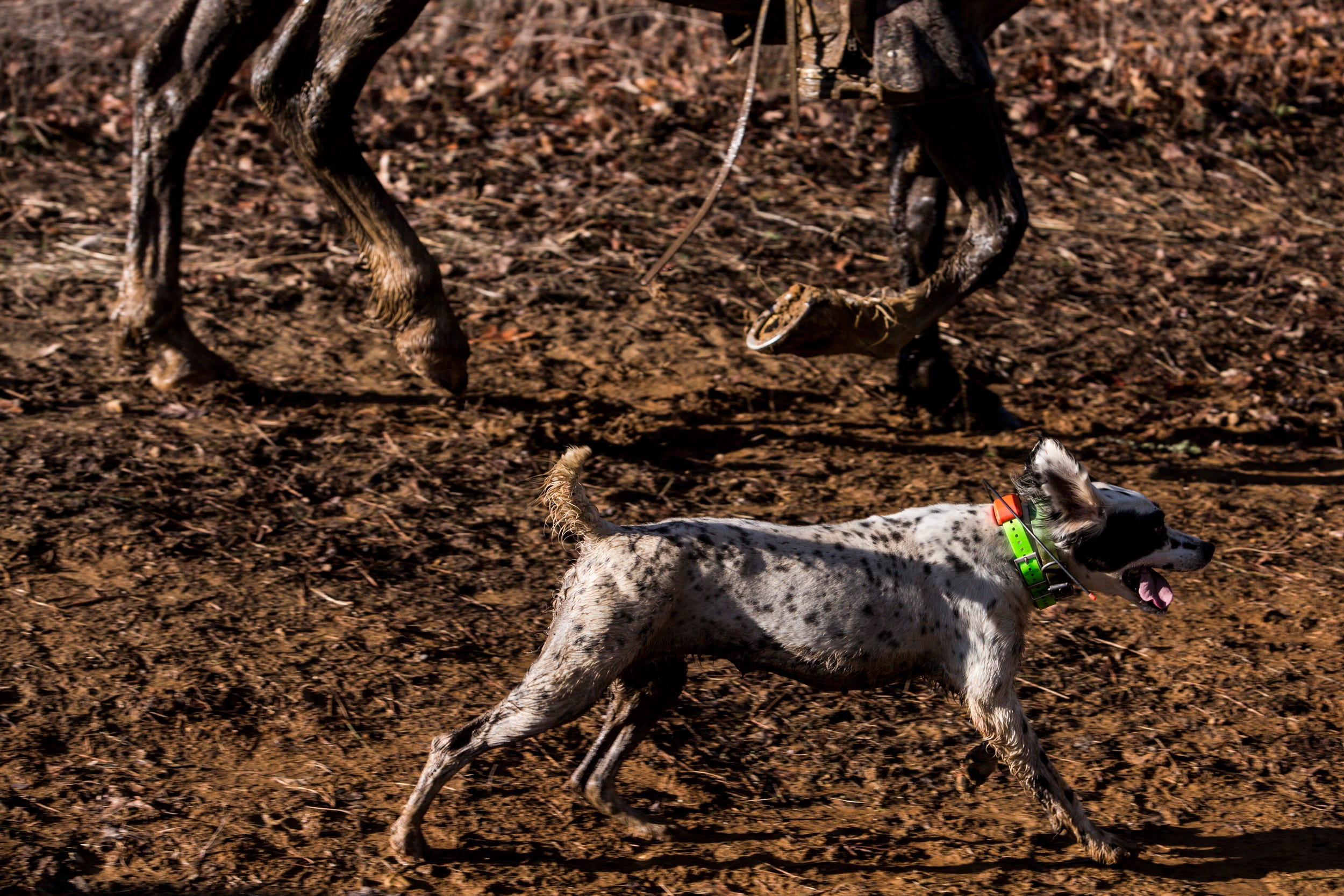 Image of: Ames Plantation Cheezburger The Beifuss File Bird Dogs On Point In National Championships
