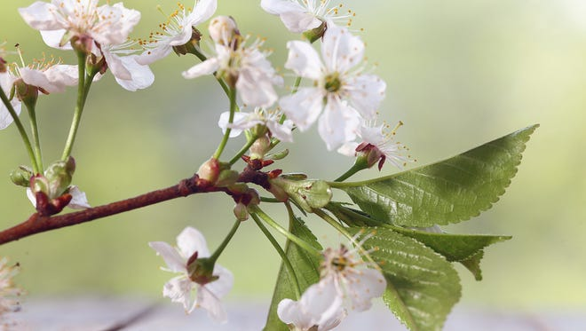 Cherry flowers and branches.