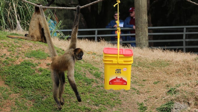 This spider monkey was taking his time hanging around a bright box containing goodies for him and his buddies during Animal Enrichment Day at the Montgomery Zoo.  (Alvin Benn/Special to the Advertiser)