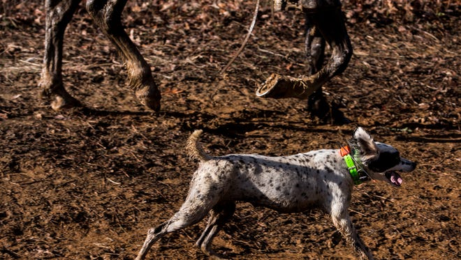 February 15, 2017 - Zorra, a six year old white and black setter, runs during the 118th National Championship for Bird Dogs at Ames Plantation. Zorra is owned by Harold Meyer and handled by Sheldon Twer. Zorra was unable to complete the 11 mile course and was disqualified.