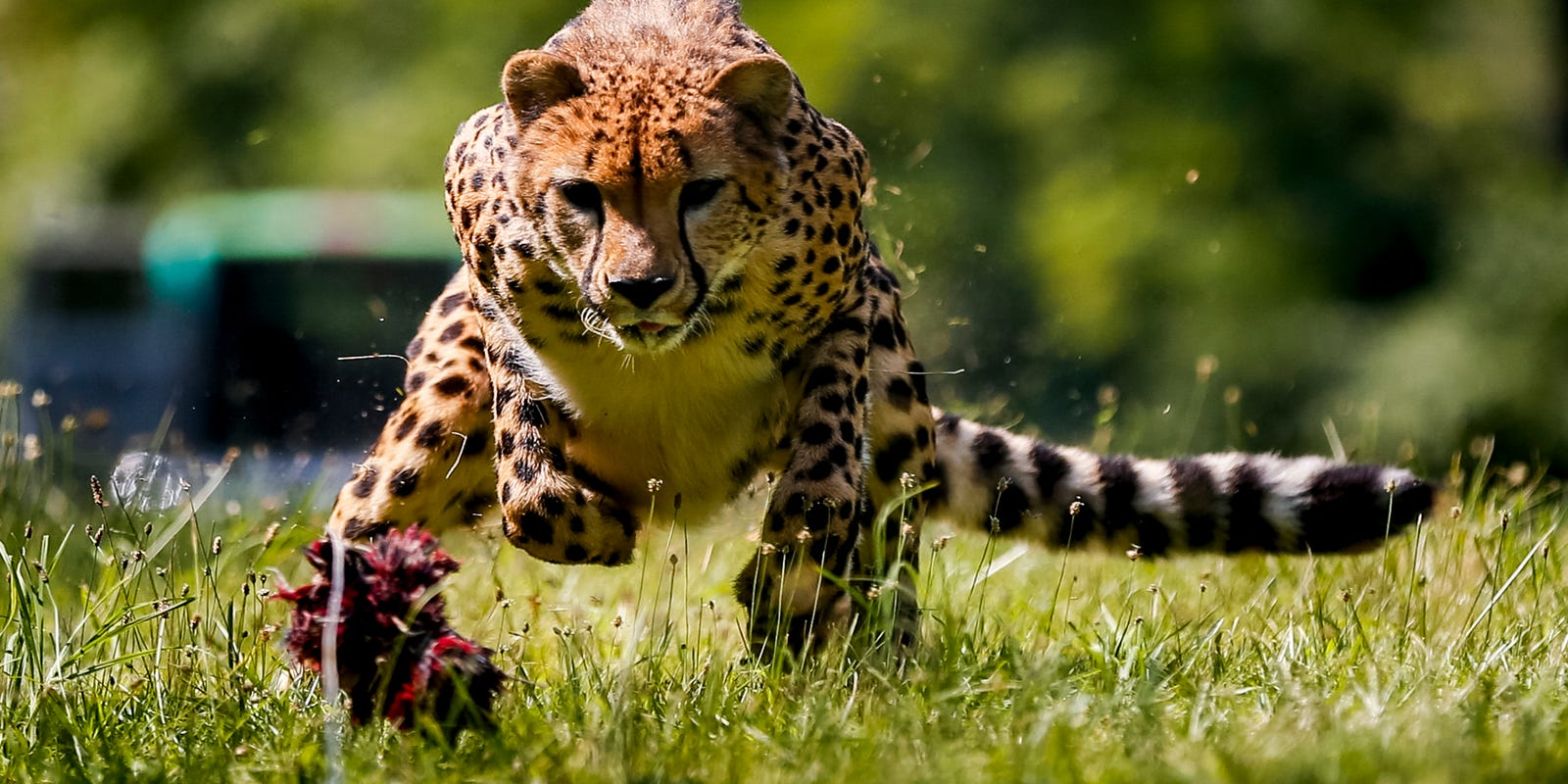 Cheetah run, mountain-man biathlon, prodigal emu: News from around our 50 states