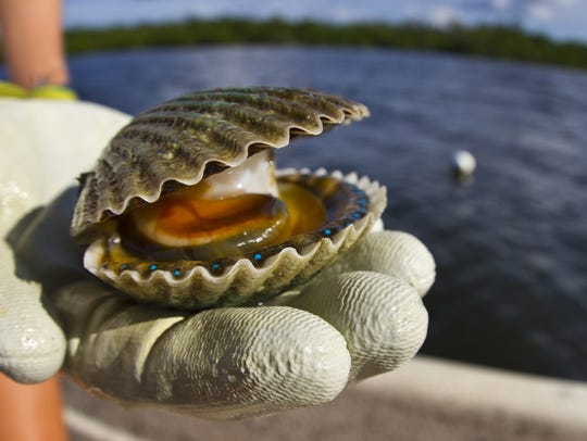 Bay scallop season in Gulf county will be closed for