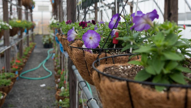 Hanging baskets of various flowers in one of many greenhouses at East Coast Garden Center in Millsboro on Tuesday afternoon.