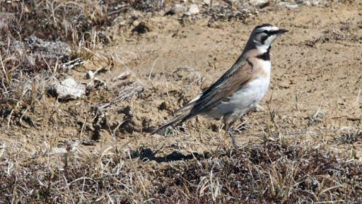 In the country on the shoulders of roads, horned larks are starting to show up.