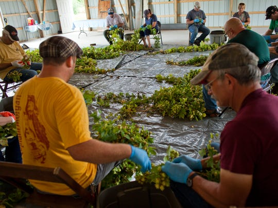 Ryan Dusci, left, and Bob Dusci, join a group in helping to harvest brewers gold hops August 27, 2014 at American Patriot Hops in Smith's Creek.