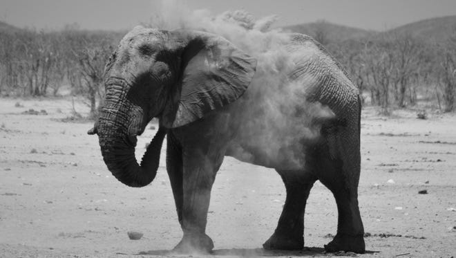 About 35 desert elephants live in the Torra Conservancy in Namibia.The only other group lives in the Sahara Desert in Mali.