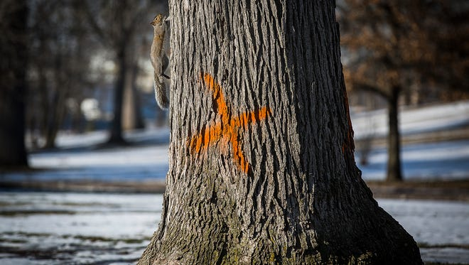 A squirrel scales a tree marked to be cut down due to ash borer infestation in McCulloch Park Thursday afternoon.