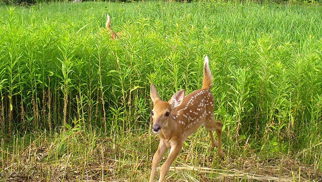 A white-tailed fawn flees past a Snapshot Wisconsin trail camera in Iowa County in July 2016 as its twin brings up the rear.