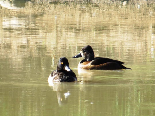 Wintering waterfowl, like these male and female ring-necked