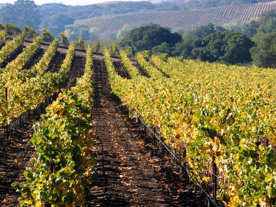 A vineyard grows fruit used in the wines of Miner Family Winery in Napa Valley, California.