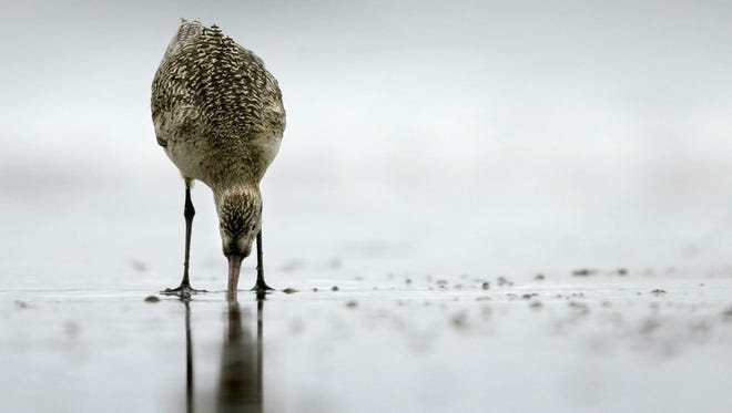 Whimbrels have been documented making 4,000-mile, transoceanic flights to and from wintering areas in Brazil, flying continuously for 95 to 100 hours at an average of 40 miles per hour.