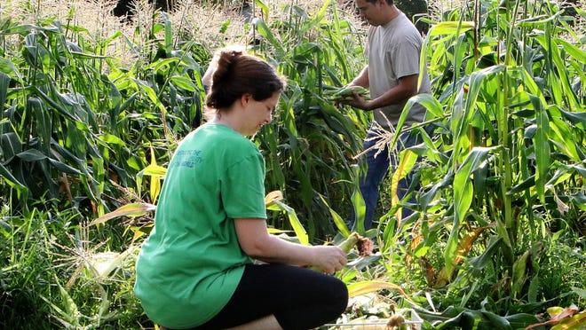 Chris and Deanna Thompson harvest sweet corn in the early morning, Friday, July 3, 2020, from their garden on Tennessee Ridge Road. On average, sweet corn takes 60-80 days to mature and is harvested when the tassels turn brown and corn kernels mature.