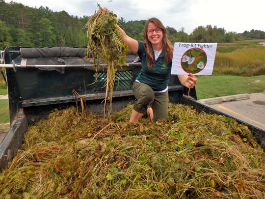 European frogbit is on the Michigan DNR's invasive species watch list. Mats of frog-bit can grow thick enough to impede boats, large fish and diving ducks.