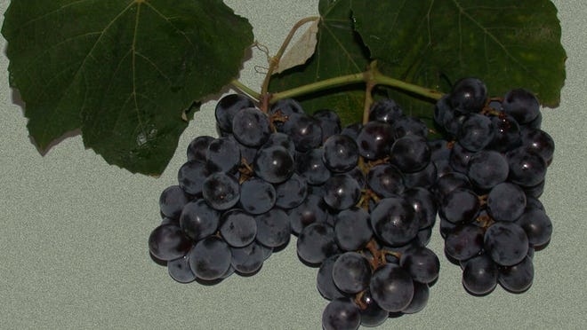 Isabella native grapes figure into a blush produced by Hemlock Lake-based Eagle Crest Vineyards. Public domain photo from Wikimedia Commons.