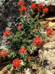 Paintbrush is among the nice mix of wildflowers along the trail.