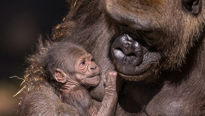 Leslie is the name of a newborn gorilla at the San Diego Zoo Safari Park in Escondido, California.