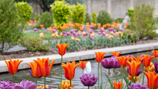 Tulips blooming inside the walled garden at Untermyer Gardens Conservancy, May 13, 2014 in Yonkers.
