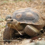 Tortoise 679 when she was still alive. She has a transmitter affixed to her shell for remote study.