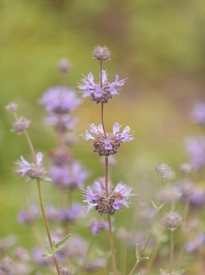 Purple clusters of flowers on the Cleveland sage plant Salvia clevelandii attract butterflies in Southern California.