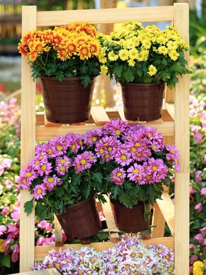 Pretty potted mums are typically widely available at this time of year and can be found at local nurseries, garden centers, florist shops and grocery stores.
