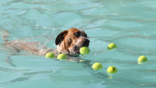 A dog chooses a tennis ball during the annual Pooch Plunge in Fort Collins. The annual event allows dogs to swim in City Park Pool as a part of the pool's closing for the summer.