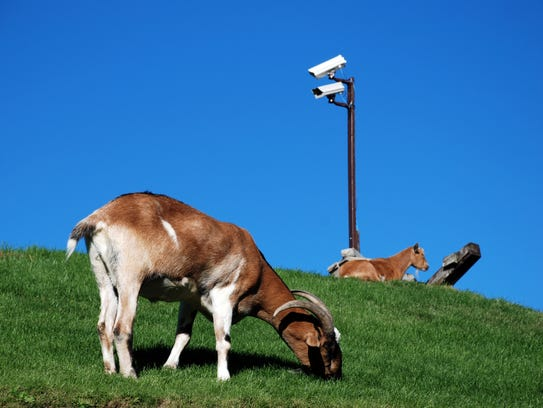 A goat cam on top of Al Johnson's roof lets folks keep